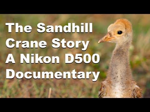 The Sandhill Crane Story - Nikon D500 Wildlife Documentary