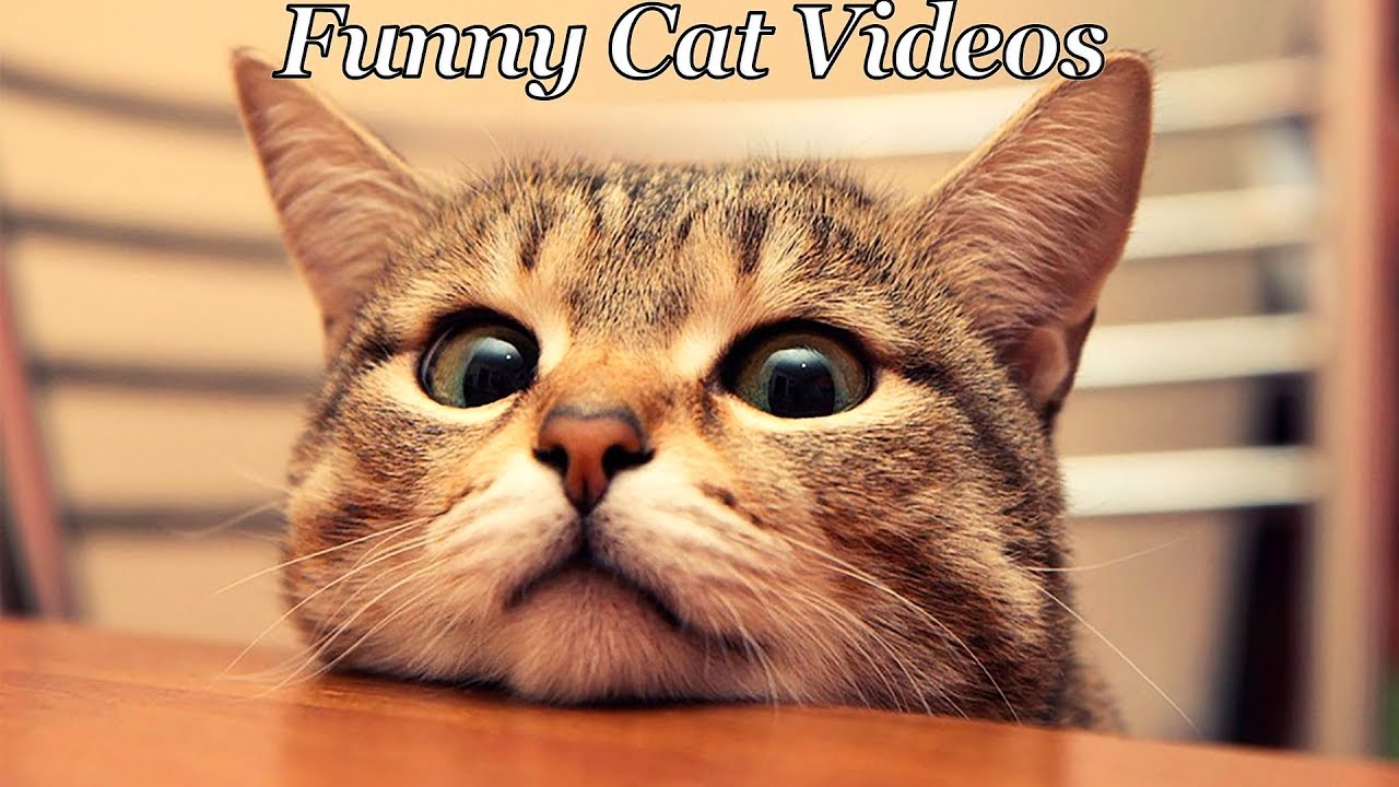 Try Not To Laugh Challenge Funny Cats pilation Funniest Cat