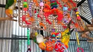 Casero Para Cool By Loros Parrots Juguete 3Lcjq4A5R