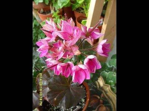 Pelargonium  Linea Andrea