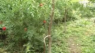 Урок 6 - Магнолия и гранат в саду - Ландшафтный дизайн(Необычный экзотический сад в нашем городе можно вырастить - утверждают специалисты ландшафтной студии..., 2011-12-15T14:35:39.000Z)