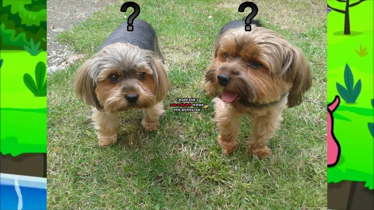 two little dogs yorkshire terrier pieski ma e dwa. Black Bedroom Furniture Sets. Home Design Ideas