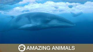 Elusive Minke Whale Underneath Ice Caps