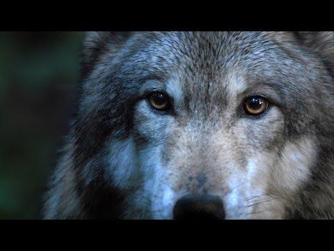 DANCES WITH WOLVES - Leo Rojas: Der mit dem Wolf tanzt