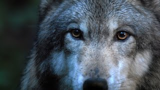 DANCES WITH WOLVES - Leo Rojas: Der mit dem Wolf tanzt
