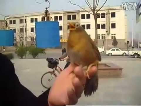 Video nuôi Họa Mi hót trên tay   Diễn Đàn Chim Cảnh Việt Nam