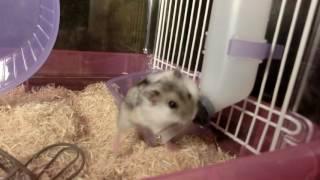 hamsters play thumbnail