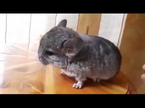 Chinchilla care - photo#37