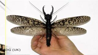 Largest Insect In The World Discovered In China