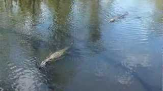 Alligators Watching With Cajun Pride Swamp Tours Of New Orleans (october 2, 2012)