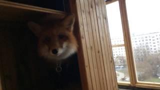 Мей закрылась на балконе  с лисой. 🦊