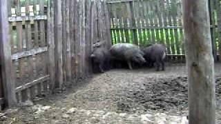 Любовь свиней)