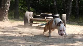Adevarul Despre Pitbull Terrier.wmv
