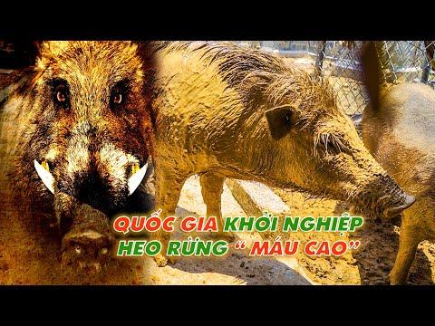 Chia sẻ kỹ thuật nuôi lợn rừng chi tiết nhất từ A đến Z || Những lưu ý khi chăn nuôi heo rừng