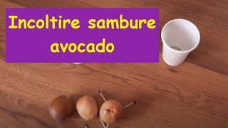 Incoltire sambure avocado / Sprouting avocado seed