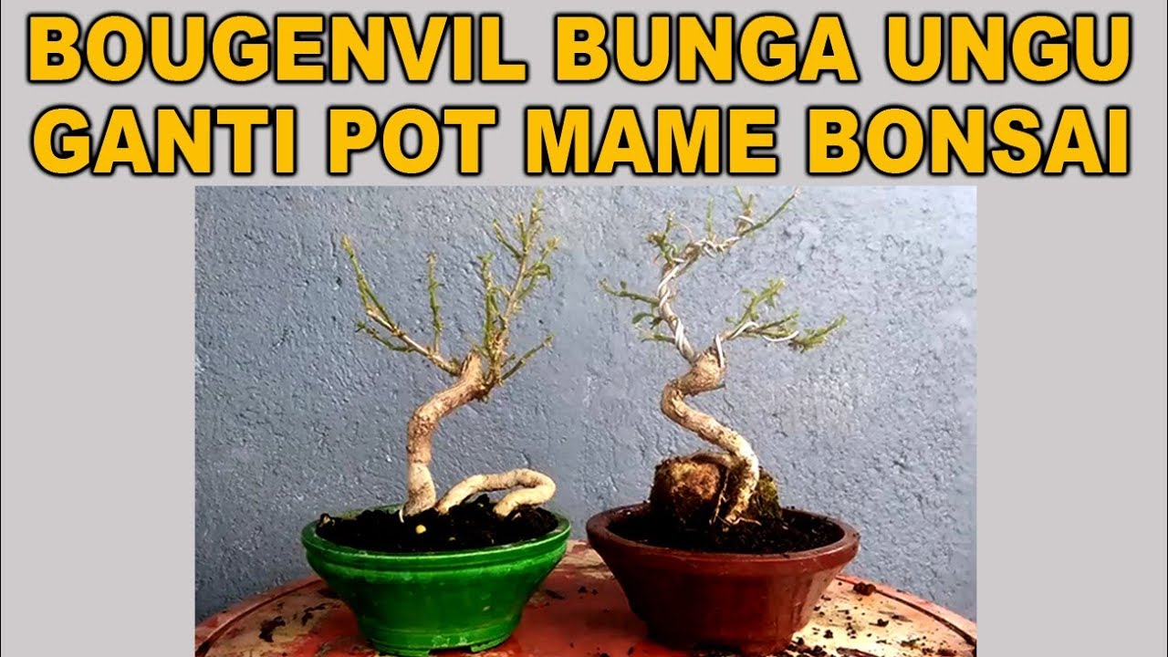 Bougenvil Bunga Ungu Ganti Pot Mame Bonsai