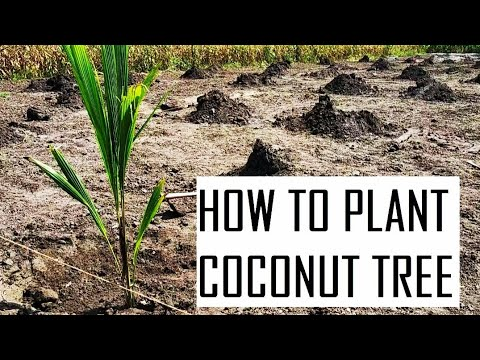 How to plant coconut trees in farm - step by step