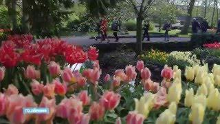 Потрясающее видео Тюльпаны в Кёкенхоф (Голландия)(Вкусные конфеты и цветы с доставкой по Москве и России на сайте http://firstflower.ru/rubric/category/14_konfety?page=1 Тюльпаны..., 2016-04-27T20:50:58.000Z)