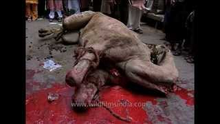 Animal Slaughter : camel killed on Eid