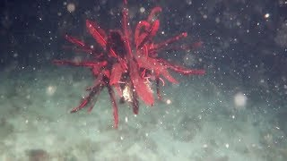 Mesmerising Feather Starfish Glides Through The Water