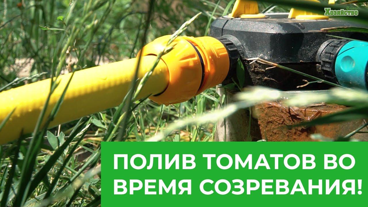 Полив томатов во время созревания! Правильный полив гарантирует успех!