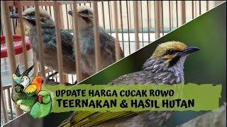 Update Harga Burung Cucak Rowo Ternak Dan Hasil Hutan 2020