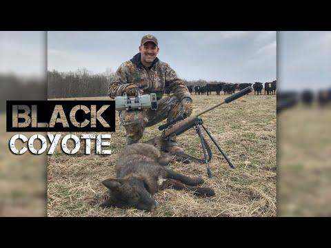 Black Coyote!!! - Coyote Hunting