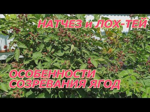 Ежевика Натчез и Лох Тей - особенности созревания ягод