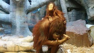 Орангутан мама играет с малышом