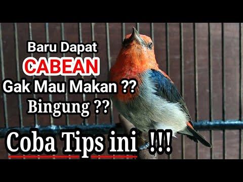 Download Langkah awal memelihara burung cabean / kemade / baret merah hasil pikat