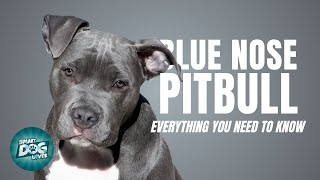 Blue Nose Pitbull | Dogs 101  Blue Nose Pitbull Puppies to Adults