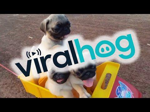 All Aboard the Puppy Train! || ViralHog