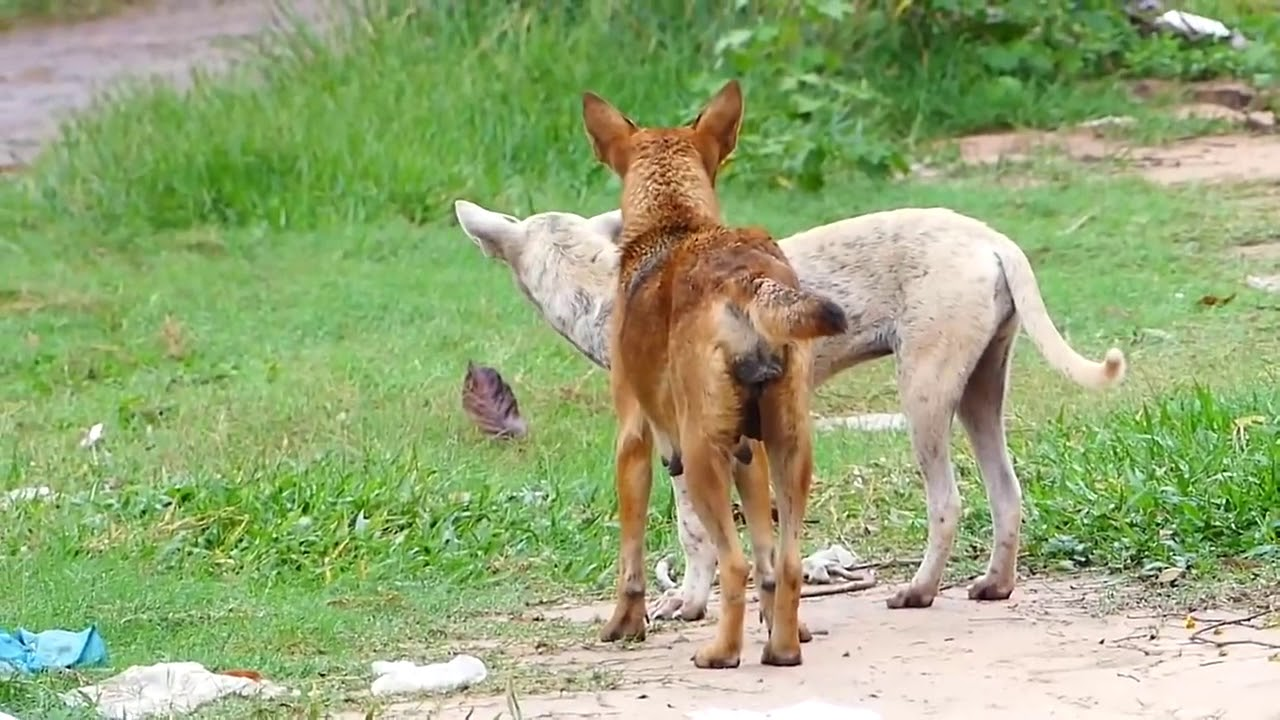 Summer rural dog and Animal Home pets compilation   golden labrador retriever vs german sh