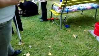 Welsh Corgi Pembroke Puppy Playing With Shih Tzu - Yorkshire Mix Hd