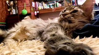 Кот моей мечты/ кот которого полюбит каждый