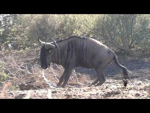 Motsomi Safaris Cross Bow Hunting Blue Wildebeest Frayley