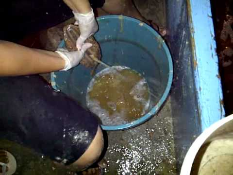 El Pepino de Mar en Celestun VID-20110421-00138.3GP - YouTube