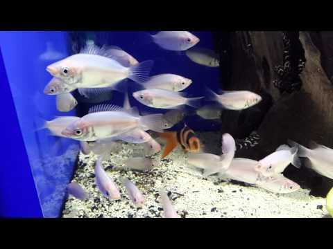 Гурами целующийся (Helostoma temminckii)- АкваРиф-Центр