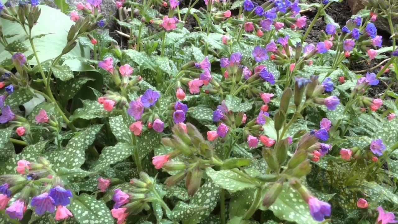 медуница цветок фото