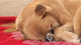 Jede Nacht hat der Hund Alpträume. Er hat seit vielen Tagen nicht geschlafen!