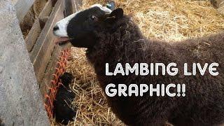 LAMBING LIVE 2016 (GRAPHIC) | FARM FRIDAY #6