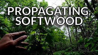 Propagating (Rooting) Oak Trees from Softwood Cuttings