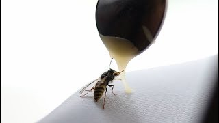 Feeding a starving wasp with honey