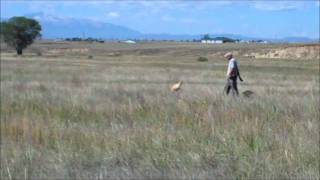 "Rug-ged Retrievers - ""sparky"" Upland Gun Dog Training"