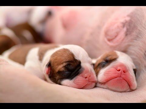 Bulldog Inglés Recién Nacidos Newborn English Bulldog Puppies