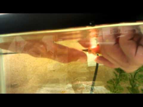 Killer Goldfish EATS African Cichlid