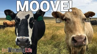 moving-cows-the-stars-moove-from-summer-pasture