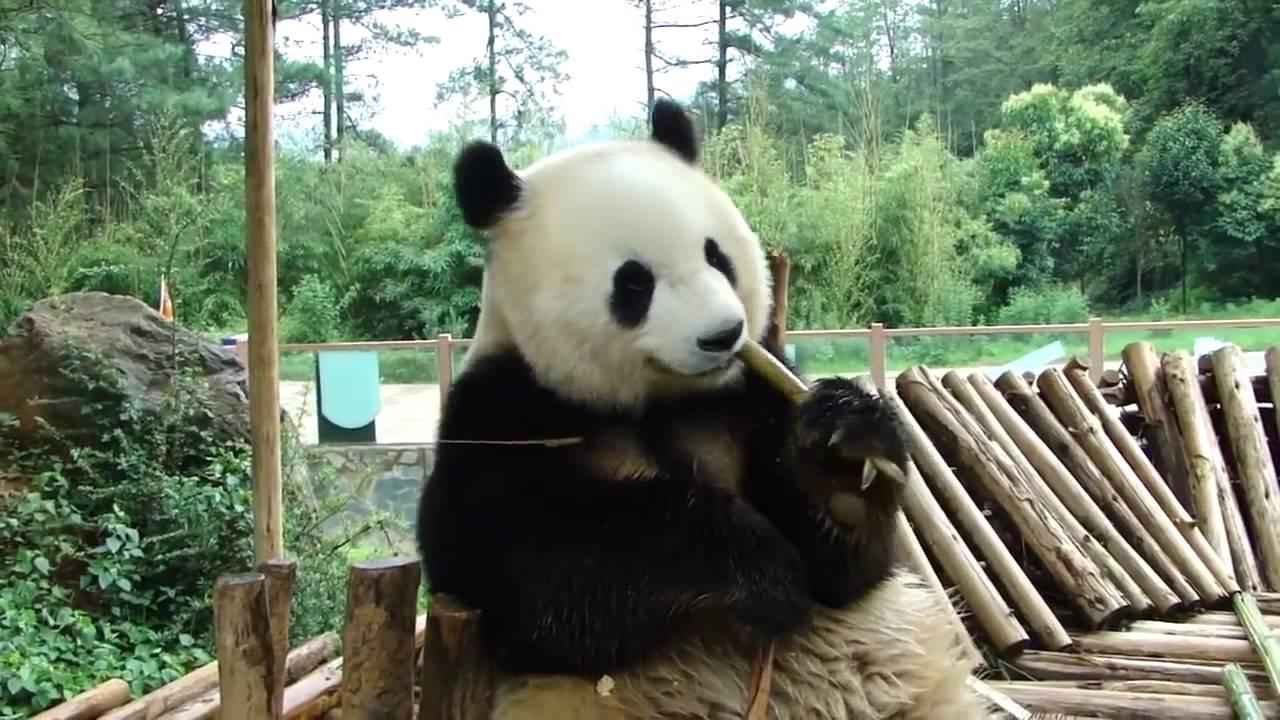 Jose Luis Colmenter: Oso Panda Comiendo Bambú. Video