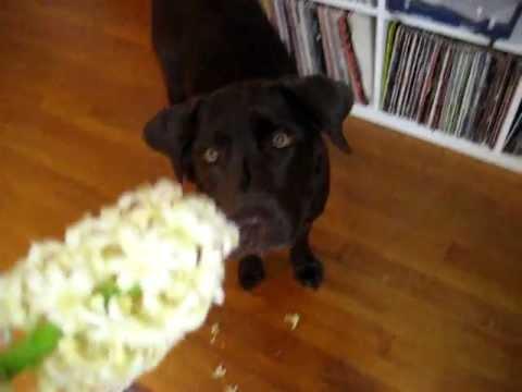 Dinosaur Dog Smells the Flowers