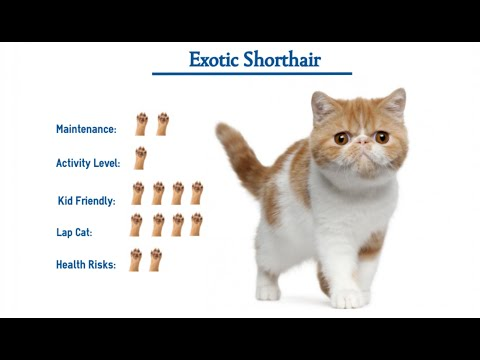 Everything About Exotic Shorthair Cats and kittens - Mykitten.in